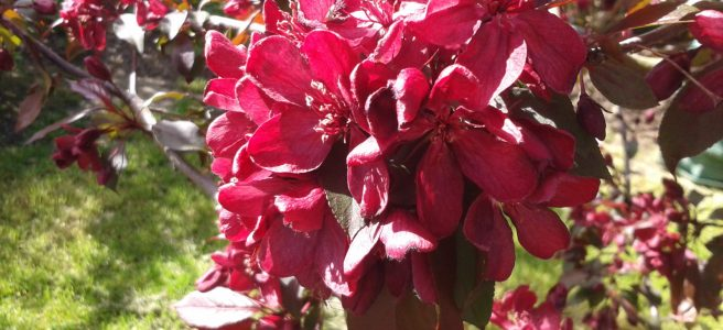 Rich red Crab Apple Blossom