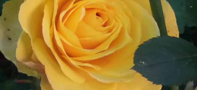 A Yellow Rose Bloom