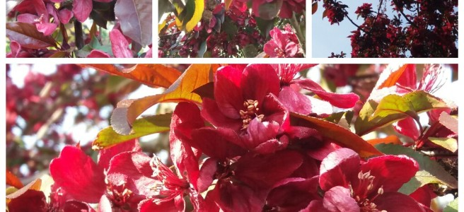 Malus in blossom. Crab Apple.