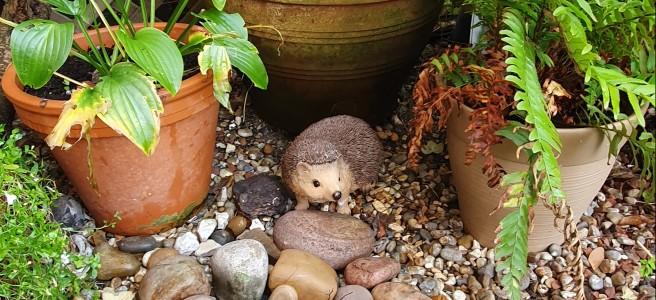 Hedgehog amongst garden pots