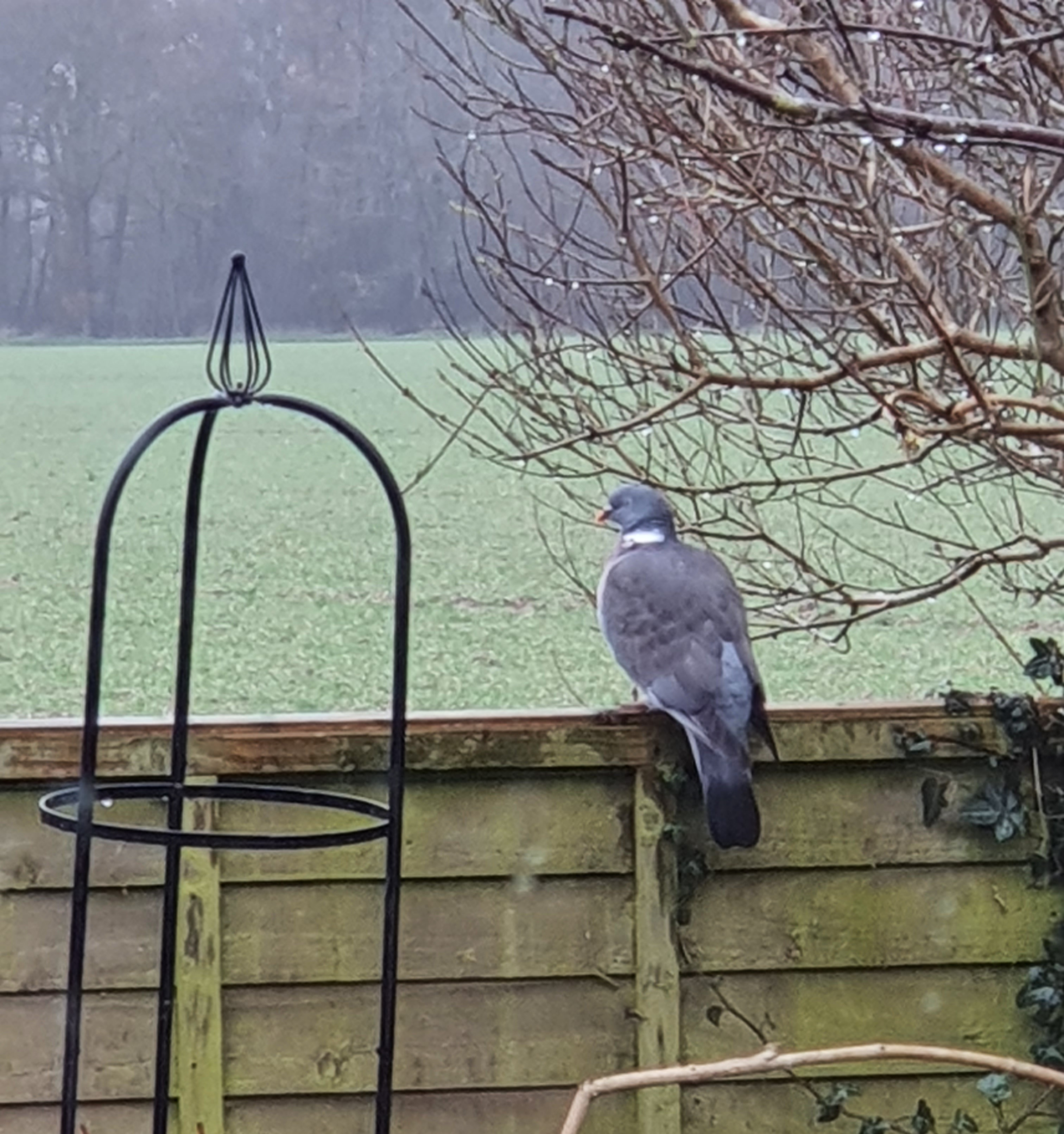 A Wood Pigeon perched on a fence in sleet